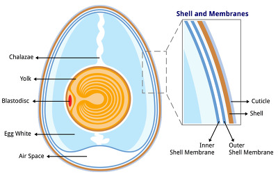 계란 속껍질 ( 란각막) Eggshell Membrane- 관절 연골건강