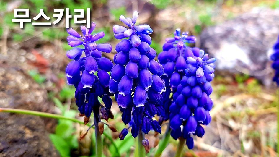 Daegu Arboretum-Ornamental plant purple muscari that can be eaten by sprinkling flowers on cactus greenhouse flower beds as various seasonings, flowers, and efficacy.