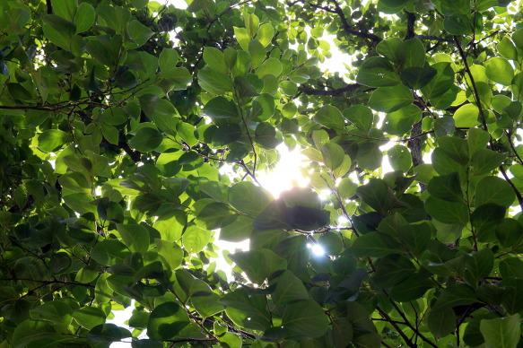 의령 가볼만한 곳-의령 백곡리 감나무